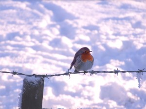 Christmas Day Robin 01