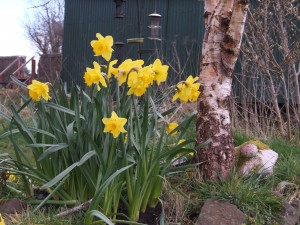 Bunch of Daffs